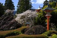 2020桜咲く京都 西山 正法寺の枝垂れ桜 - 花景色-K.W.C. PhotoBlog