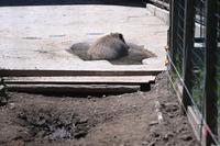 イノシシの放飼場 - 動物園へ行こう