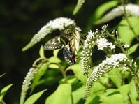 オカトラノオに集う蝶たち♪ - *la nature*