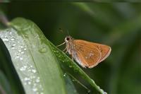 オオチャバネセセリ・・・今年初見 - 続・蝶と自然の物語