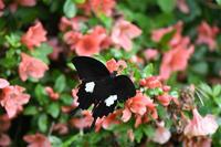 モンキアゲハ・・・ようやく撮影 - 続・蝶と自然の物語