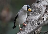 イカル - 野鳥の視線