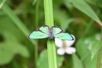ミドリシジミオスもまだ元気 - 蝶のいる風景blog