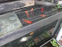 金魚とメダカ - だんご虫の花