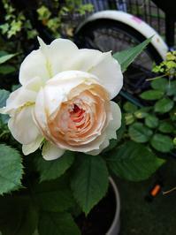 明日は晴れるかな - 小庭の園芸日記