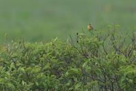 北海道への思い④【シマアオジ・ギンザンマシコ・ユキホオジロ】 - 鳥観日和