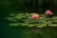 バラが終わってWaterLily@空中庭園 - meの写真はザンス