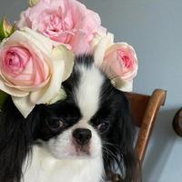 薔薇と狆☆仔犬のときのマテ練習 - 狆の茶々丸