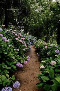 ハウステンボス紫陽花祭り - A  B  C