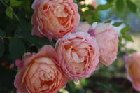 レディオブシャーロット2020 - my small garden~sugar plum~