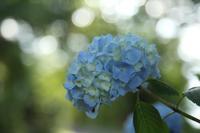 牛伏山の紫陽花 - 風の彩りー3