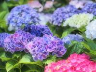 紫陽花 4大阪市 - ty4834 四季の写真Ⅱ