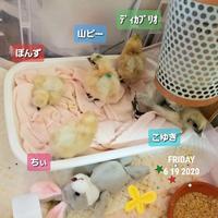 ヒヨコまみれ - 烏骨鶏かわいいブログ