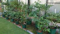 鉢植えブルーベリーの実付き - 初めてのブルーベリー栽培記