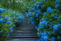 美しすぎる明月院ブルーの姫紫陽花 - エーデルワイスブログ