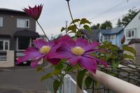 自然栽培釧路の夏マルチの効果かキャベツ - 自然栽培 釧路日記