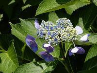 生き生き<紫陽花>~プロ野球開幕 - 庭を眺めて…コーヒータイム
