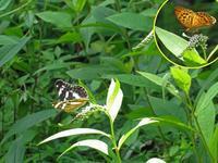 メスグロヒョウモン♂の不思議 - 秩父の蝶