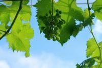 棚下からピオーネ泥棒予行練習 - ~葡萄と田舎時間~ 西田葡萄園のブログ