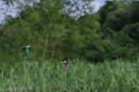 2020.6.10神奈川県・夕刻のハンノキ林ミドリシジミ2020.6.22 (記) - たかがヤマト、されどヤマト