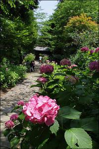 アジサイ寺 - 薫の時の記憶