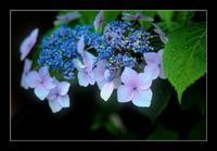 庭の紫陽花 - Desire