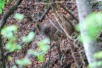 日本鹿(ニホンジカ) - 野鳥などの撮影記録