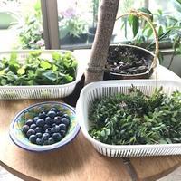 ハーブの収穫 - 緑のしずく (ベランダガーデン便り)