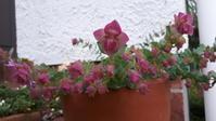 オレガノとパシュミナとジギタリス - わらびの庭づくり。時々猫