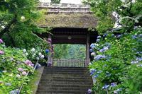 東慶寺の紫陽花① - 暮らしを紡ぐ2