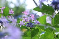 雨の日の紫陽花・2♪ - happy-cafe*vol.2
