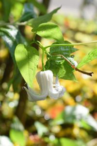 6/21今日のお庭クレマチスも咲いてきた - Nyanco32's Blog