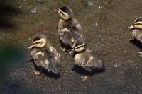 幼鳥が多く観察されています★先週末の鳥類園(2020.6.20~21) - 葛西臨海公園・鳥類園Ⅱ