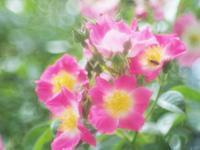フラワーパークの薔薇9 - 光の音色を聞きながら Ⅴ