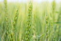 道産小麦 - Rey Photo