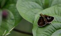 夏至乃東枯(なつかれくさかるる) - 紀州里山の蝶たち