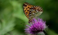 夏至乃東枯その2 - 紀州里山の蝶たち