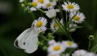 夏至遠征リポートその2 - 紀州里山の蝶たち