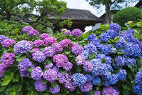 鎌倉・極楽寺の紫陽花 - エーデルワイスPhoto