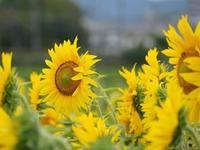 向日葵で小さな幸せ - 十色生活