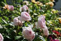 オリビアローズオースチン2020 - my small garden~sugar plum~