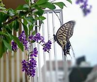 蜜を求めて蝶々が踊っ... - Loveletters