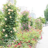 薔薇時間 in sapporo - Rey Photo