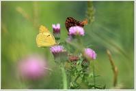 高原の蝶たち - ハチミツの海を渡る風の音
