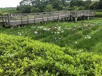 公園散歩①菖蒲と紫陽花 - つれづれ日記
