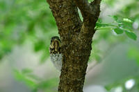 クロツグミ巣立ち雛 - 新 鳥さんと遊ぼう