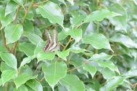 アオスジアゲハの産卵 - 堺のチョウ