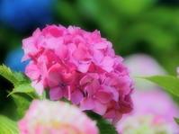紫陽花 5大阪府 - ty4834 四季の写真Ⅱ