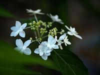山紫陽花…➀ - 花ごよみ~山野草に魅せられて~