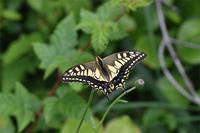キアゲハ・・・山頂に - 続・蝶と自然の物語